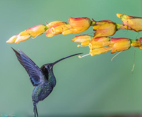 pichincha ecuador ec whitewhiskeredhermit hermit phaethornisyaruqui phaethornis phaethornithinae hummingbird trochilidae nigelje sanjorgeecolodges sanjorgedemilpe milpe