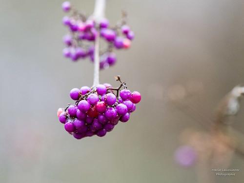 Strauch mit lila Beeren?