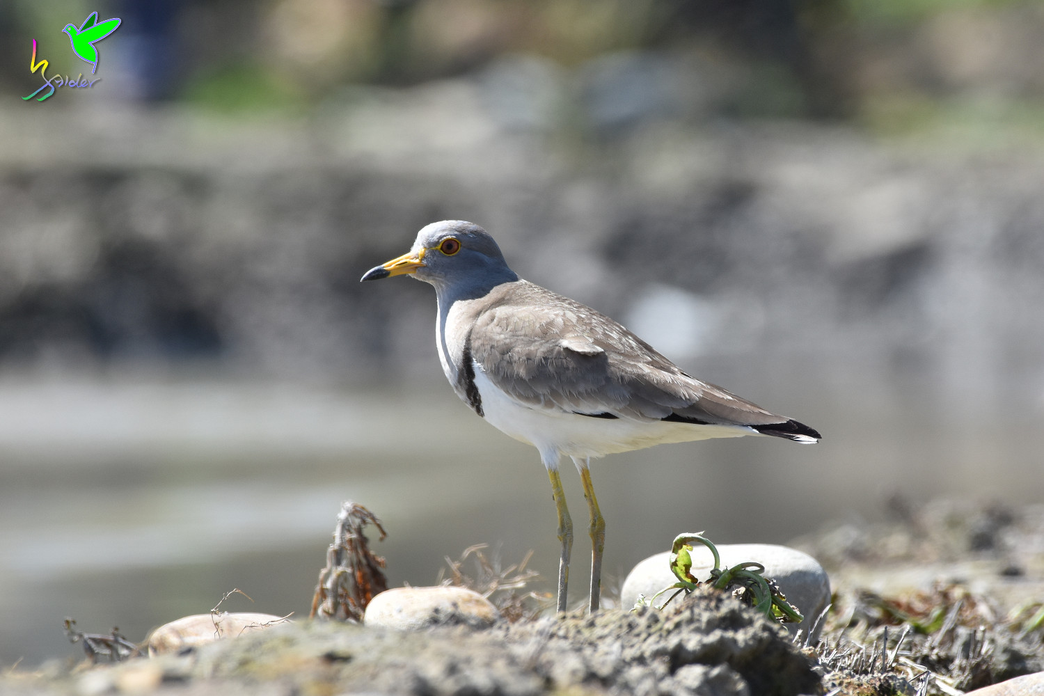 Grey-headed_Lapwing_1722