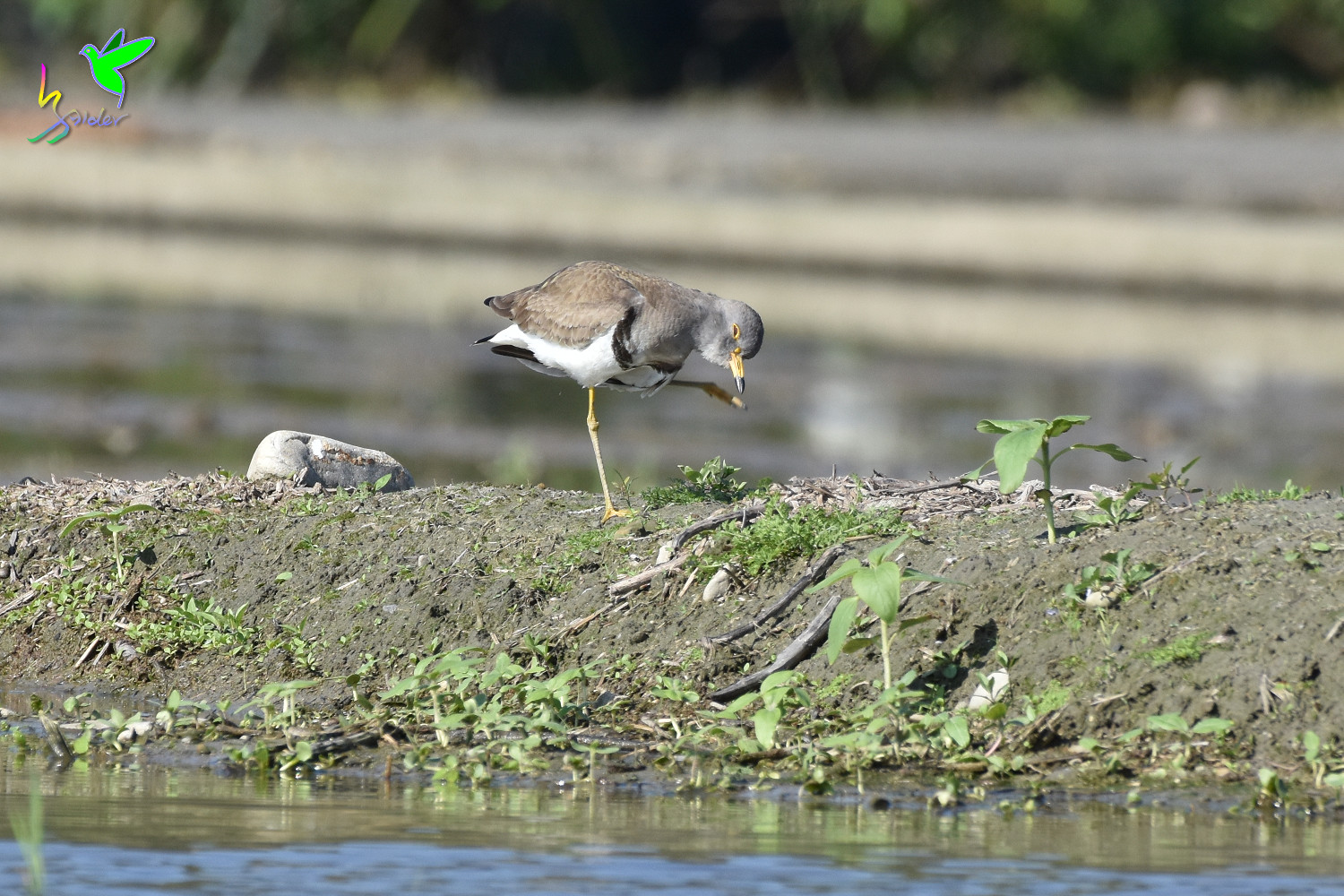Grey-headed_Lapwing_0731