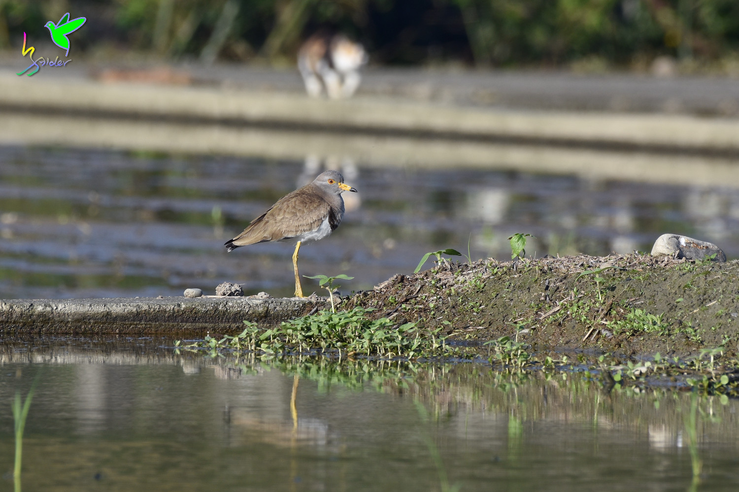 Grey-headed_Lapwing_0168