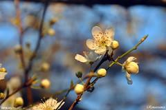 White Plum Blooming