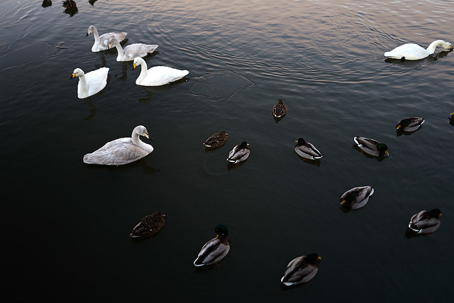 if ducks and swans can get along, why can't we all?
