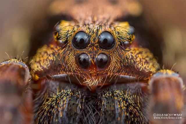 Wandering spider (Ctenus sp.) - DSC_8086