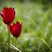 Tulipa Cypria II