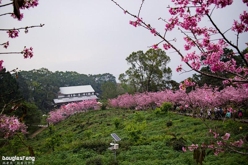 【遊記】南投鹿谷鳳凰自然教育園區賞櫻花 (18)