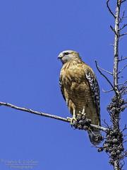 Red-shouldered Hawk taking a break