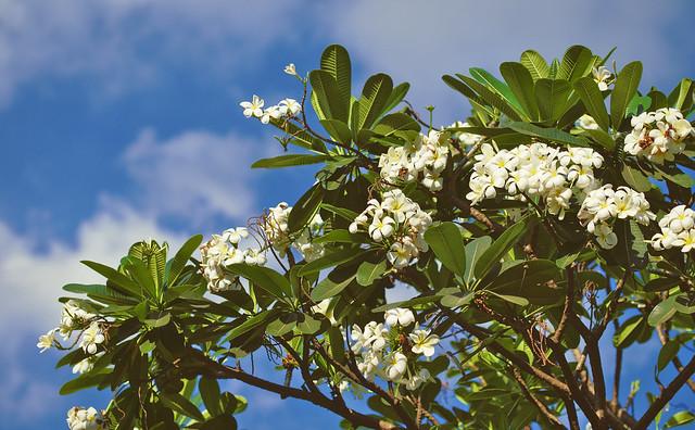 Flowering Tree, Fujifilm X-T10, XF90mmF2 R LM WR