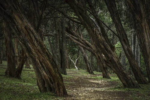 cedar trees cedartrees tilted canted politicalleanings austin texas texashillcountry