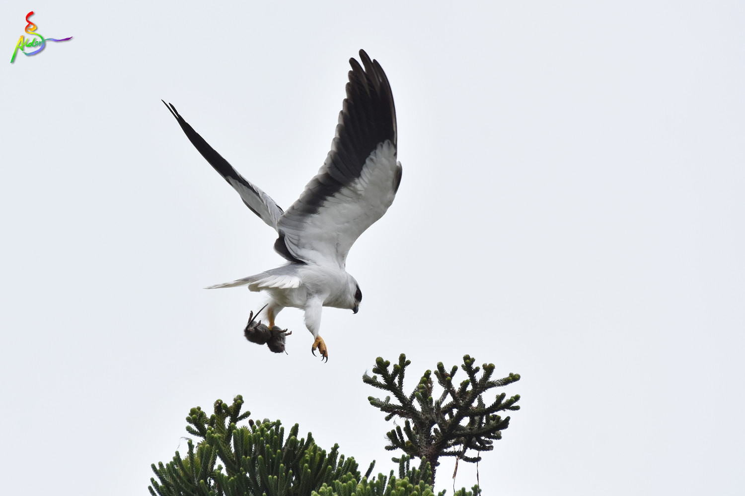 Black-winged_Kite_5067