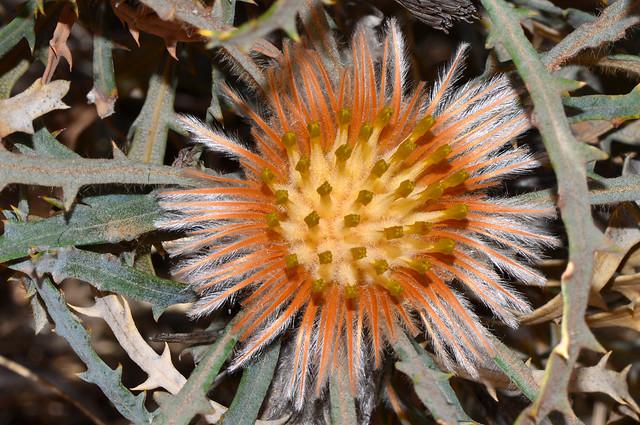Banksia vestita