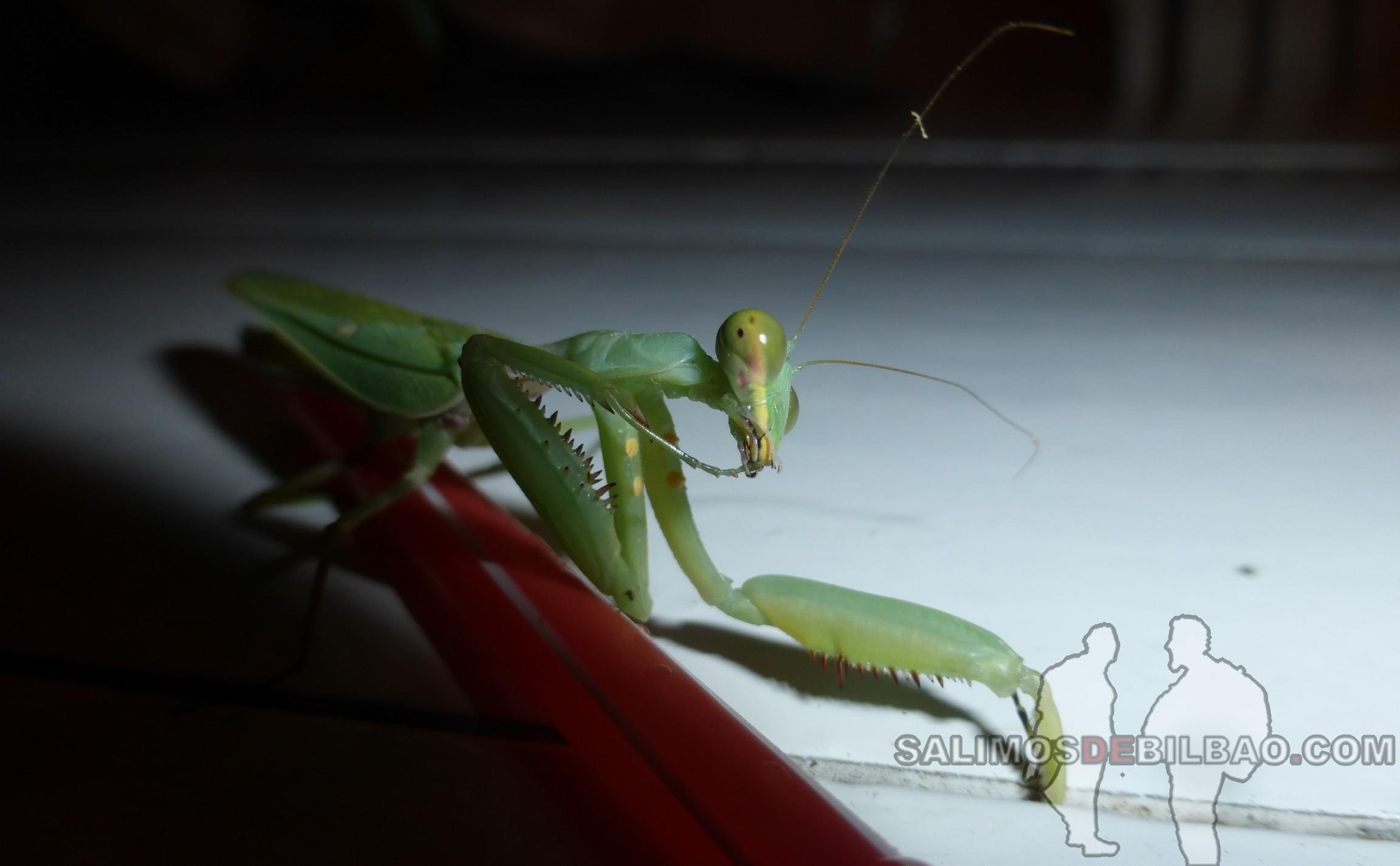 0092. Mantis en el restaurante, Phu Quoc