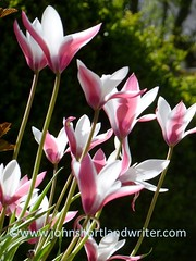 Tulipa 'Peppermint Stick'
