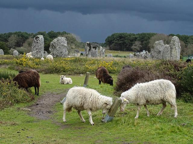les moutons dans les mégalithes de Carnac