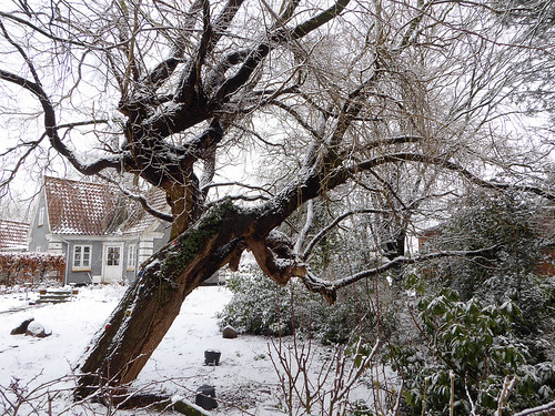 Old tree in snow