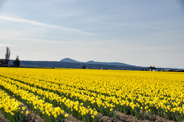 Skagit Daffodils-28
