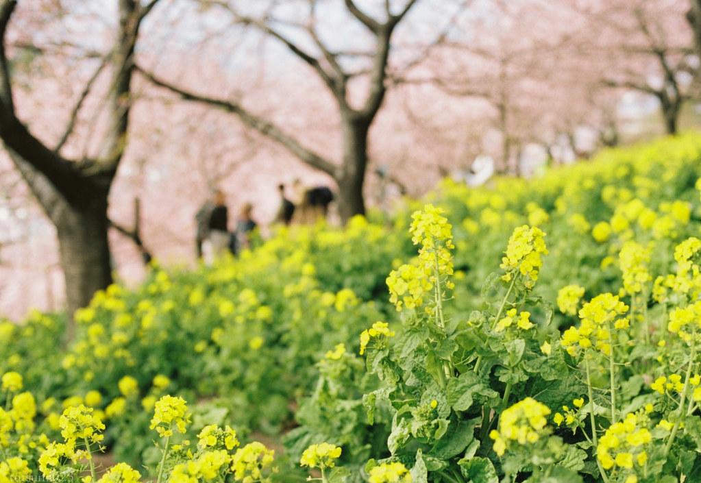 2018-03-17 河津桜とPORTRA160 003