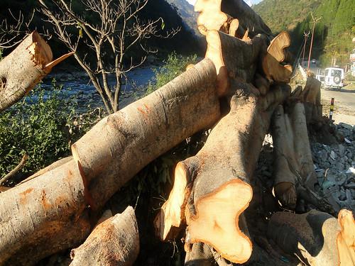 ऑलवेदर रोड के लिये बलि देते पेड़