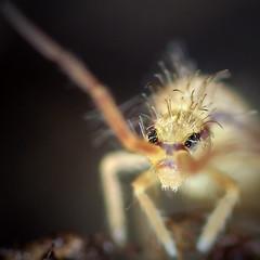 Entomobrya sp.