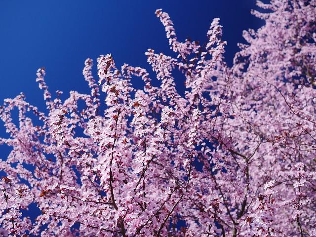 Cherry-plum at Clackamette park