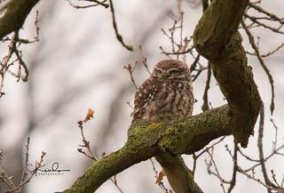 Posing little owl