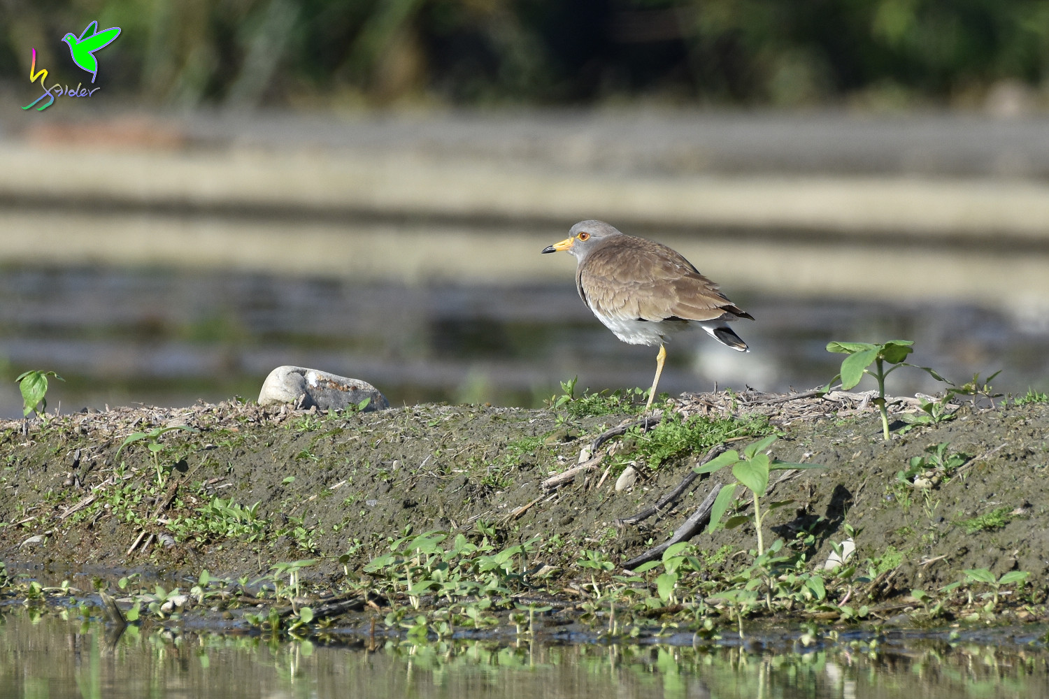 Grey-headed_Lapwing_0464