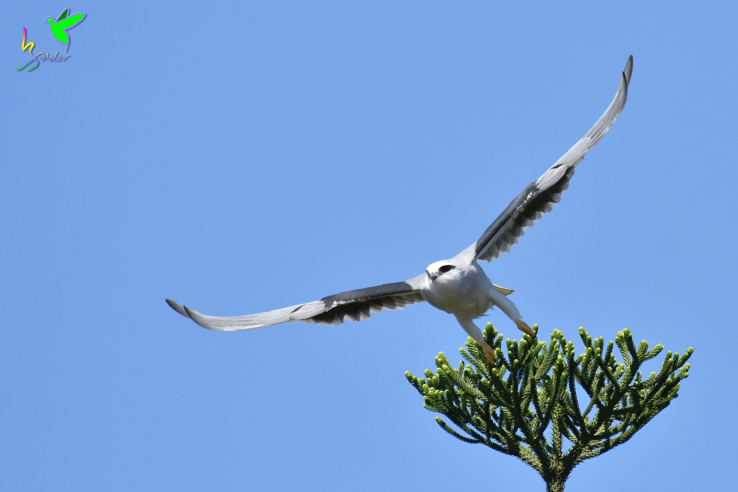 Black-winged_Kite_2342