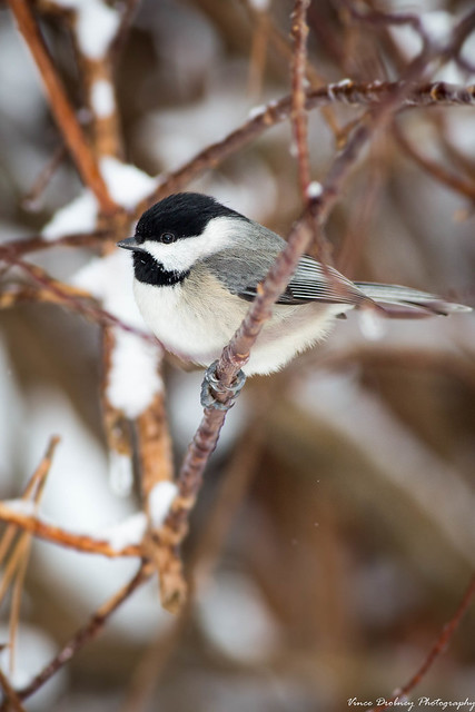 Black-capped Chickadee-5455-3, Canon EOS 5D MARK III, Canon EF 400mm f/5.6L