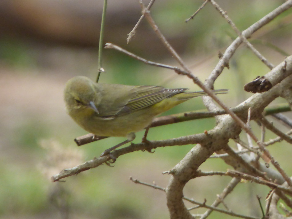 Golden-Crowned Warbler, Trail at the Woods