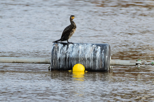 Young cormorant, Trew's Weir, Exeter