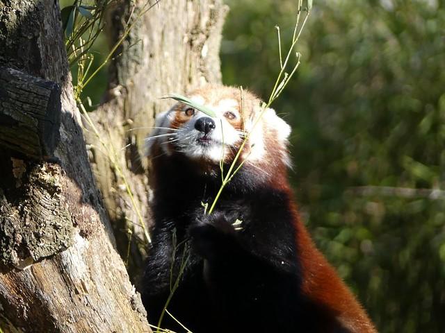 Roter Panda, Zoo Karlsruhe