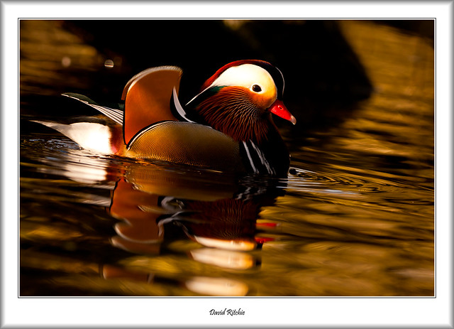 Male Mandarin Duck, River Leven, Balloch