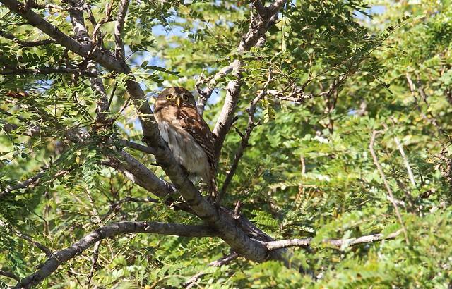 Ferruginous Pygmy Owl / Chevêchette brune /  Glaucidium brasilianum