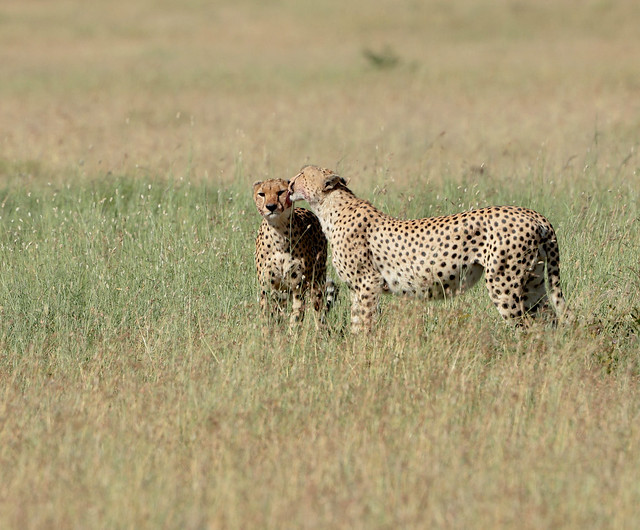 Cheetah Brothers, Canon EOS 5DS R, Canon EF 400mm f/4 DO IS