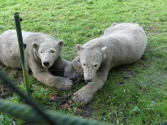 Eisbär, Dierenrijk Mierlo
