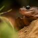 Arboreal salamander (Aneides lugubris) by Spencer Dybdahl Riffle