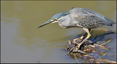 Green-backed Heron.