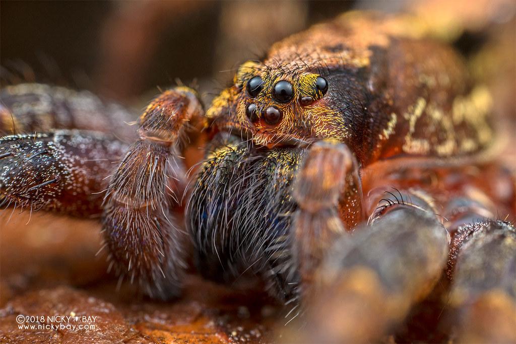 Wandering spider (Ctenus sp.) - DSC_8109