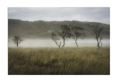 Misty Trees on Scottish Moor