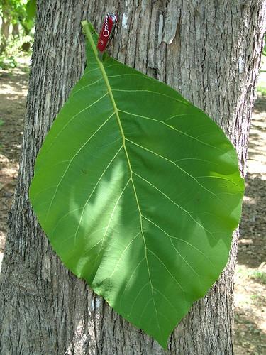 timor tectona tectonagrandis verbenaceae easttimor timorleste