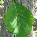 Tectona grandis leaf and bark