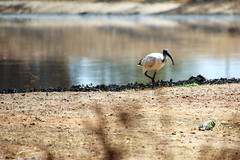 The African sacred ibis (Threskiornis aethiopicus), Kotu, The Gambia
