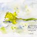 2018 0319 Daffodil 1
