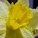 Spring Daffodil Rain