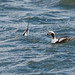 Long-Tailed Ducks, Male