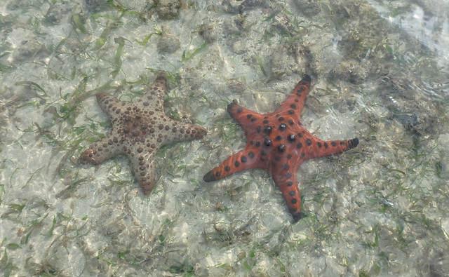 Knobbly sea star (Protoreaster nodosus) with hybrid