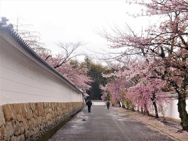 kajuji-sakura020