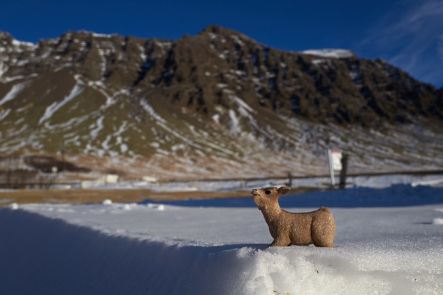 baby goat frolics in the snow near Hali Hotel