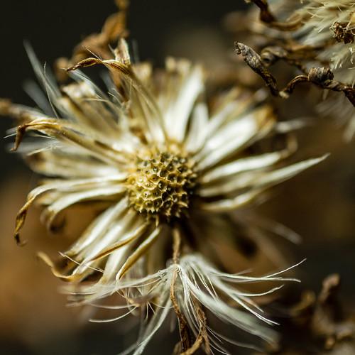 michealmas daisy