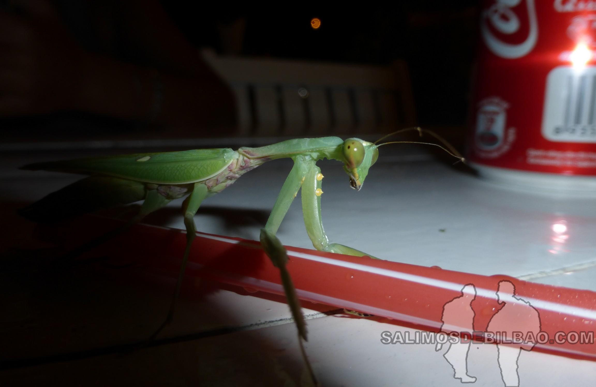 0090. Mantis en el restaurante, Phu Quoc